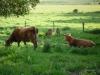 2-koeienzomer